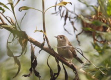 House Wren in Tree Stock Photos
