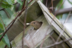 House Wren (Troglodytes aedon). Stock Photo