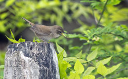 House Wren, Troglodytes aedon Stock Photo