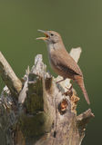 House Wren (troglodytes aedon). Singing on a stump royalty free stock photos