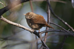 House wren(troglodytes aedon). Resting on branch in front of nest stock image