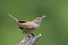 House Wren (troglodytes aedon). Carrying food to her nest stock image