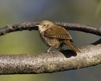 House wren(troglodytes aedon. ) perched on branch in the early morning royalty free stock photography