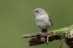 House Wren perched on a moss-covered stump Royalty Free Stock Images