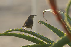 House Wren who sits on the bush of aloe Stock Photo
