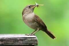 House Wren with a Worm Stock Photos