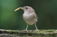 House Wren with a Worm Royalty Free Stock Photography