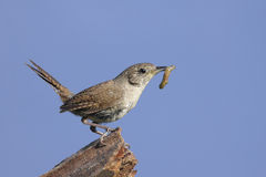 House Wren with a Worm Royalty Free Stock Images