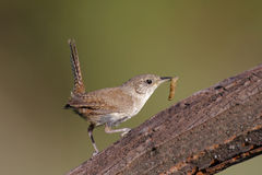House Wren with a Worm Stock Image