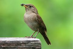 House Wren with a Worm Royalty Free Stock Photo