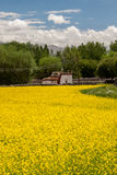 House in a yellow field. In Ladakh Royalty Free Stock Photo