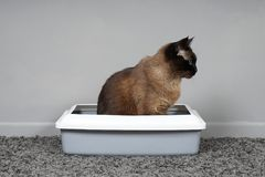 Housebroken cat sitting in cat`s toilet or litter box. Housebroken siamese cat sitting in cat`s toilet or kitty litter box stock photos