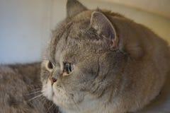 Housecat Royalty Free Stock Photos