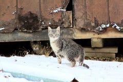 Housecat doméstico na neve por um celeiro velho fotos de stock