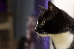 Housecat Royalty Free Stock Images