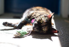 Housecat playing with fluffy toy Royalty Free Stock Photography