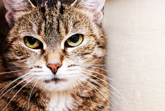 Housecat Portrait Stock Image