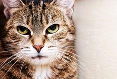 Housecat stående Fotografering för Bildbyråer