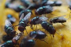 Houseflies crawl and suck mango juice. Macro close up royalty free stock photos
