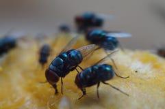 Houseflies crawl and suck mango juice. Macro close up royalty free stock image