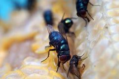 Houseflies crawl on yellow corncob. Extreme close up stock images