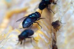 Houseflies crawl on yellow corncob. Extreme macro close up stock photo