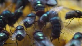 Houseflies kraul i ssa mangowego sok zdjęcie wideo