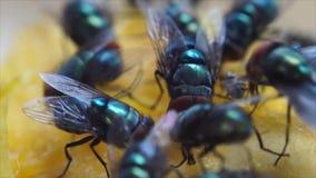 Houseflies kraul i ssa mangowego sok zbiory wideo