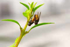 Houseflies Mating on Flower Stalk - Insect Reproduction stock photos