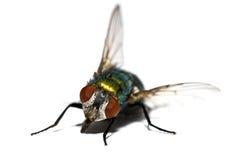 housefly крупного плана стоковая фотография