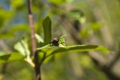 housefly Стоковое Изображение