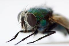 housefly Zdjęcie Stock