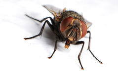 Housefly Stock Photography