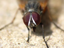 Housefly Royalty Free Stock Photo