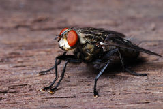 A housefly royalty free stock photo