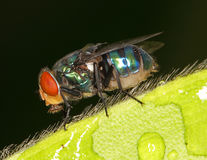 The Housefly Royalty Free Stock Photos