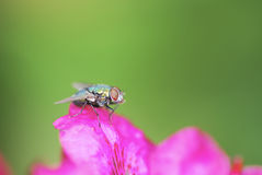 Free Housefly Stock Images - 19882824