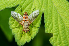 Housefly. The housefly is lieing on the leaf stock photo