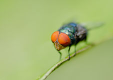 Housefly Royalty Free Stock Photography