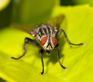 A housefly Stock Photo