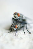 Housefly. A pair of housefly are mating stock photography
