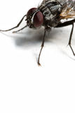 Housefly Stock Image