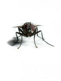 housefly Obrazy Stock