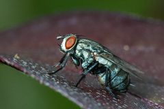 housefly Fotos de Stock