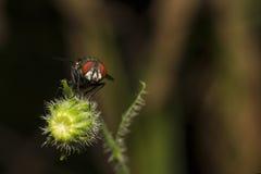 housefly Стоковые Фотографии RF