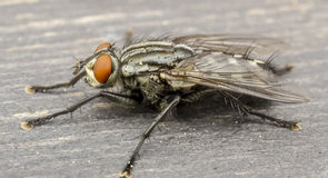housefly Obraz Stock