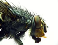 Housefly Royalty Free Stock Images