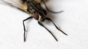 housefly Fotografia Stock