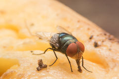 housefly Imagens de Stock