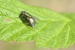 housefly Foto de Stock Royalty Free